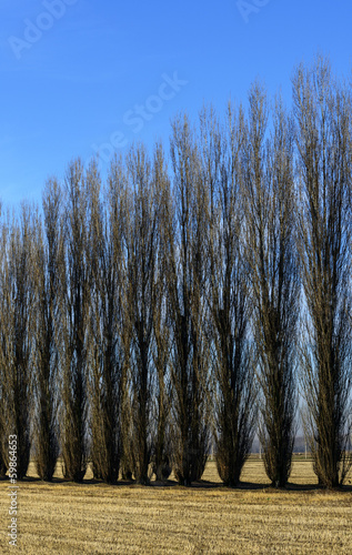 Poplars in autumn, Lomellina (North Italy)