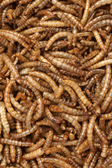 Meal Worms a popular food for birds and fish bait