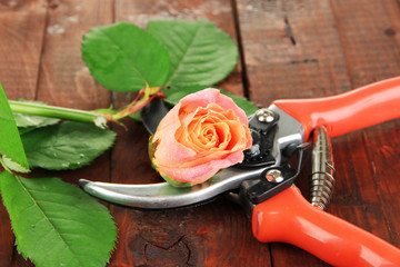 Garden secateurs and rose on wooden table close-up