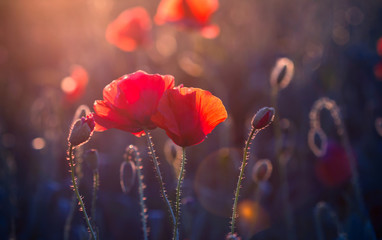 Poppy flowers in the meadow at sunset