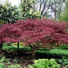 Faecherahorn, Acer, palmatum,