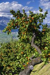 Aprikosenbaum im Schweizer Wallis