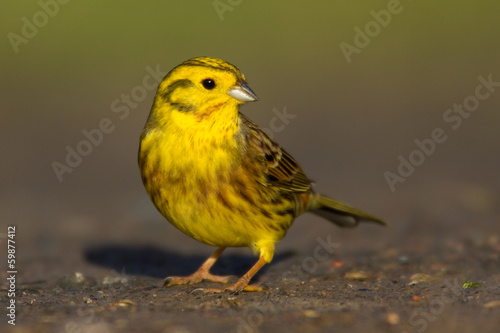 Yellowhammer (Emberiza citronella)