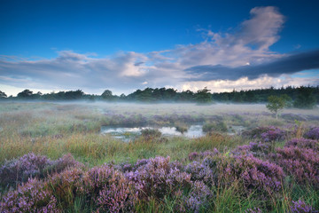 heather flowers in misty morning