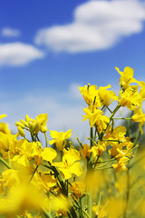 Rapeseed flowers and blue sky with clouds