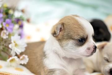 chiwawa puppy dog pet