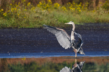 Great Blue Heron Landing in Shallow Water