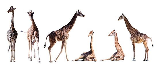 Set of few giraffes