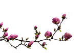 Flowering branch of magnolia cut-out