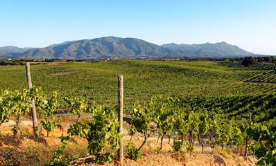Vignoble Corse en plaine orientale