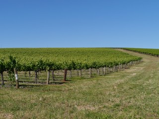 A wine vineyard in spring in the Clare valley