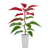 Plant with red and green leaves in the pot