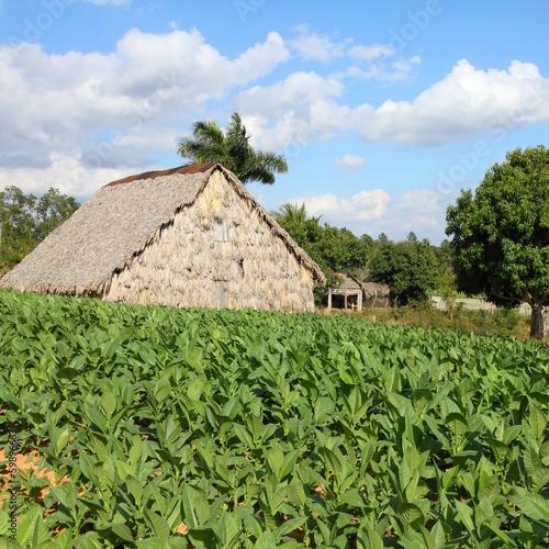 Tobacco field in Cuba