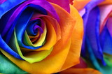 Rainbow rose or happy flower