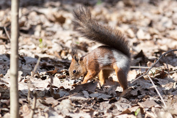 Sciurus vulgaris, Red Squirrel.