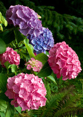 Hortensia meerkleurig