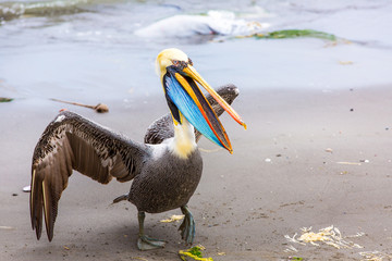 Pelican on Ballestas Islands,Peru  South America in Paracas