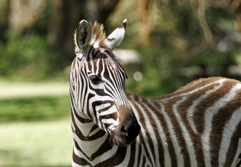 The striped beautiful Zebra