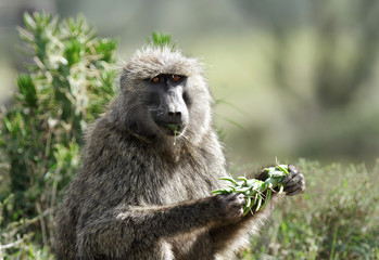 A Baboon eating green leaves