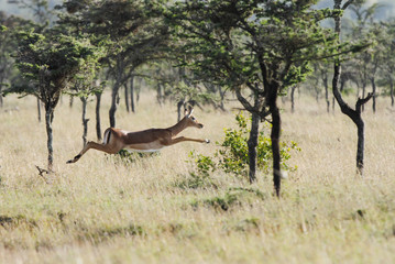 A beautiful female Impala bouncing