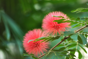 Bloomimg Mimosa tree (Albizia julibrissin), aka silk tree