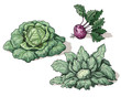 Variety of cabbage