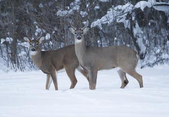 Two Whitetail Bucks