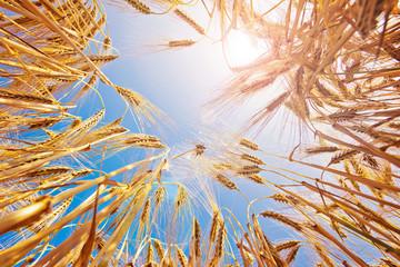 Reifes Getreide im Sommer