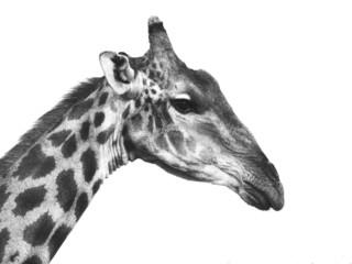 Giraffe portrait in black and white