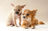 Two sweet chihuahua puppies on neutral background
