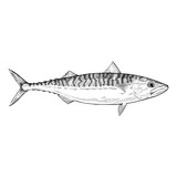 Hand Drawn Illustration of a Atlantnic Mackerel