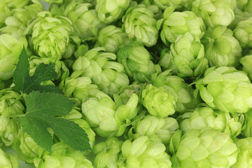 Fresh green hops, close up