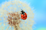 Beautiful ladybird  on dandelion, close up