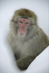 Snow monkey or Japanese macaque, Macaca fuscata