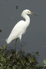 Snowy egret, Egretta thula,