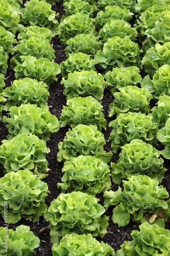 Salatköpfe in einem Garten