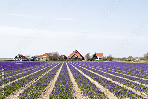 Traditional farmhouses in a purple flower field in Holland