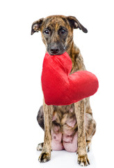 dog with a red heart. isolated on white background