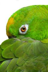 .Amazon Parrot