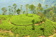 tea plantation hill