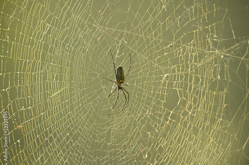 Nephila pilipes specie of golden orb-web spider