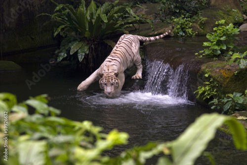 Aluminium Singapore White tiger, Singapore