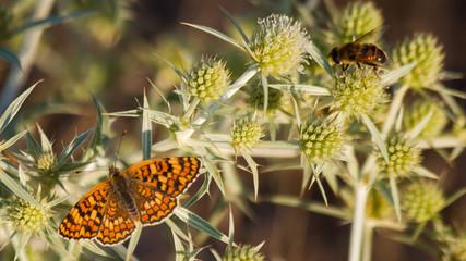 Abeja y Mariposa en Cardo