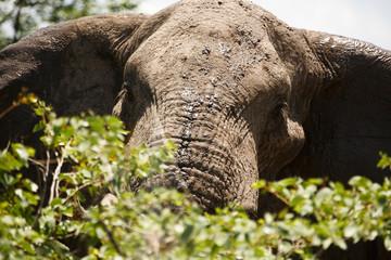 Elefant blickt über Blätter