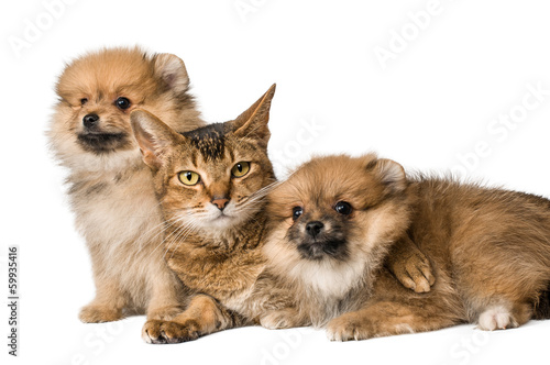 Cat and Pomeranian puppies