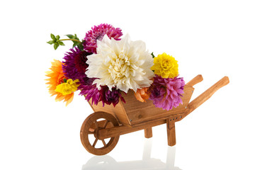 Bouquet Dahlias in wheel barrow
