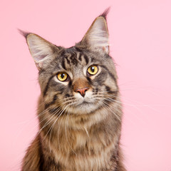 Maine coon cat on pastel pink