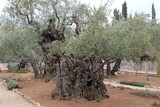 Very old olives in Gethsemane garden. Jerusalem