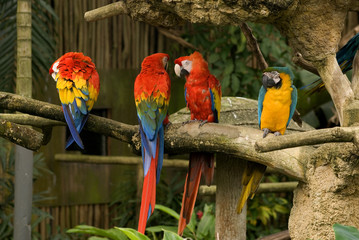 Macaws, Singapore