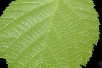 Filbert leaf. Veins.